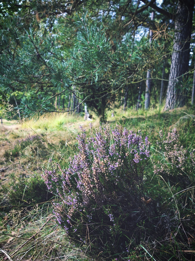 Hed i Lüneburger Heide