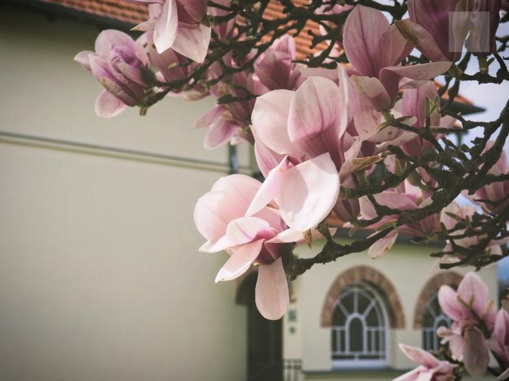 Magnolia i närbild