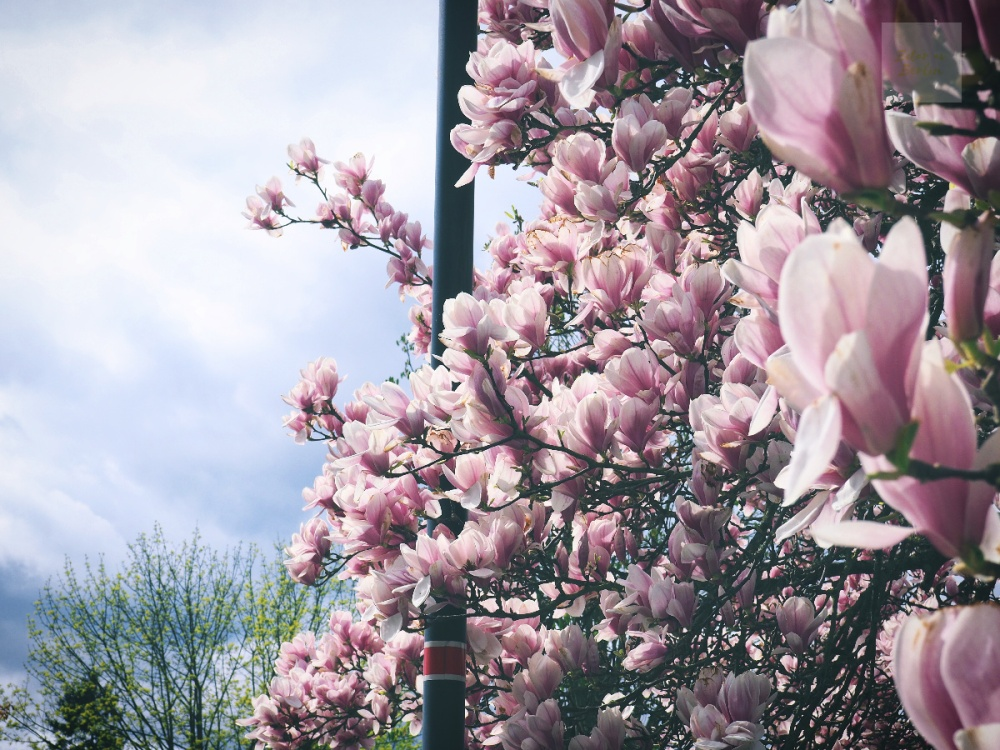 När magnolian står i blom
