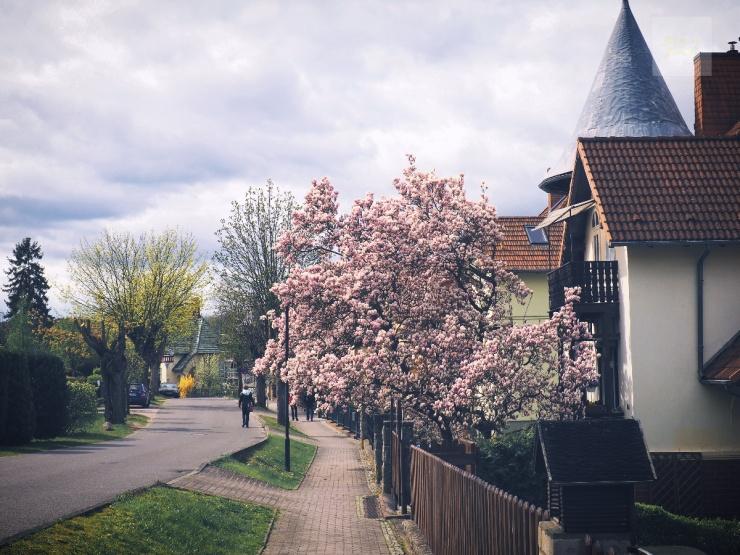 Magnoliaträd över trottoaren