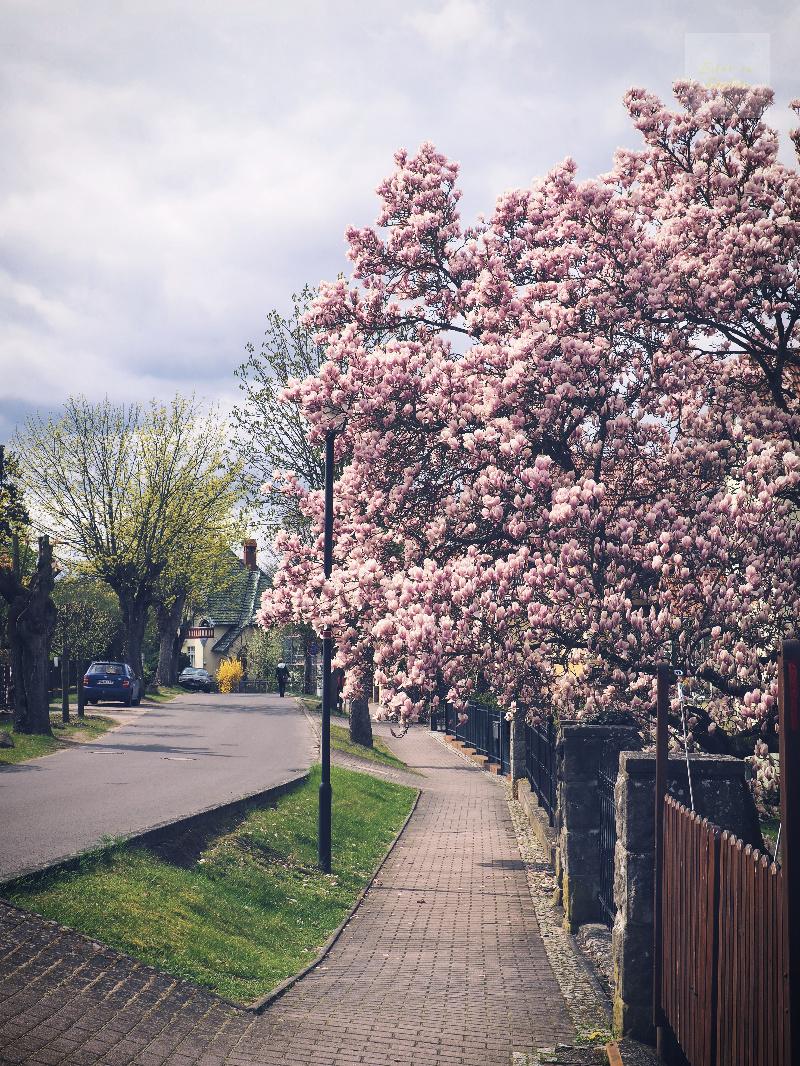 Maffig magnolia