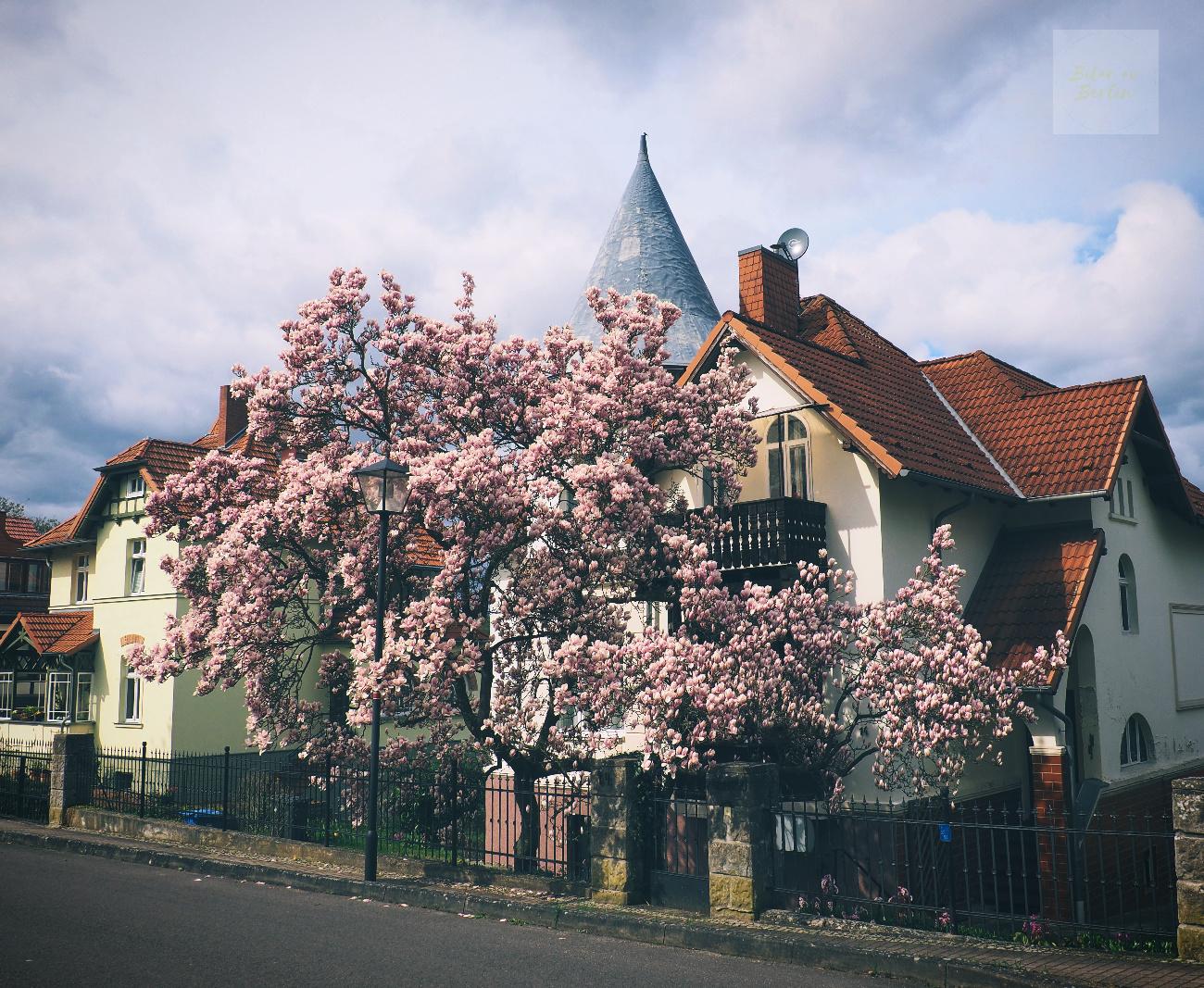 När magnolian blommar