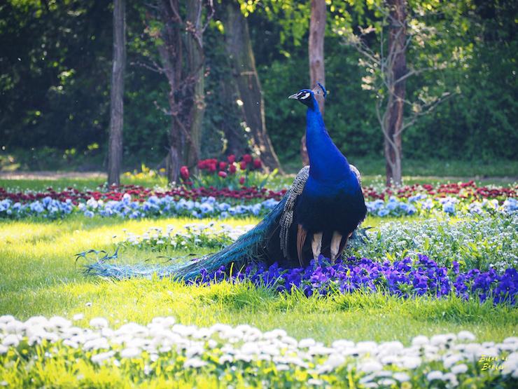 Koketterande påfågel