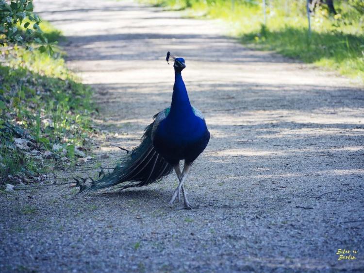 Påfågelscatwalk
