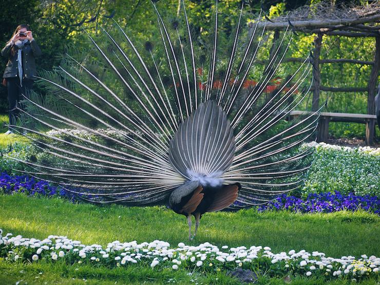Påfågelbaksida