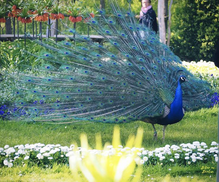 Påfågel i full skrud