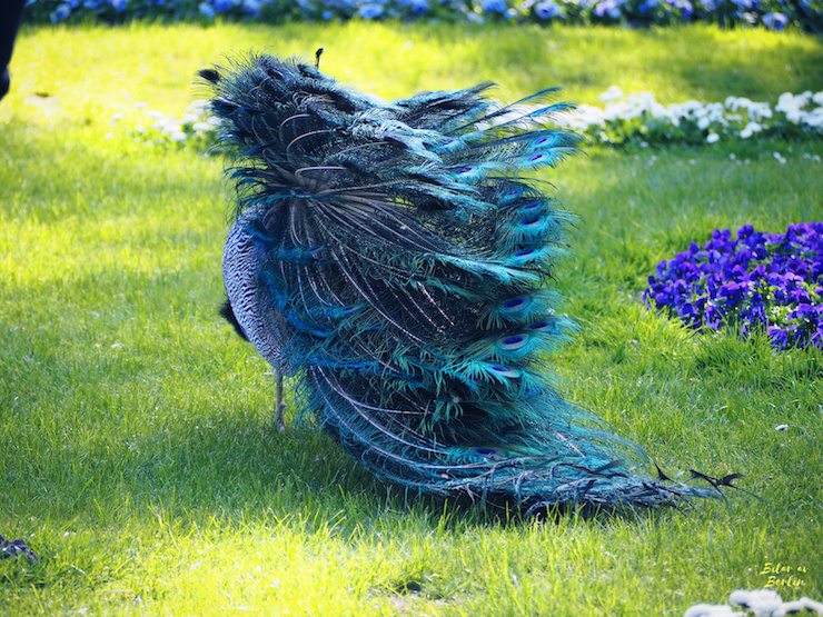 Påfågel på G