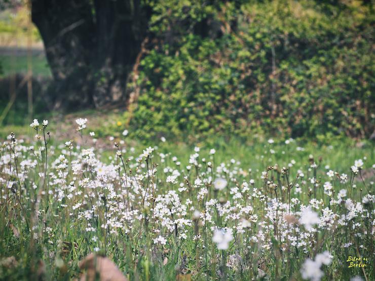 Vita blommor