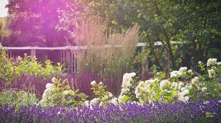 Rosenträdgård i Berin